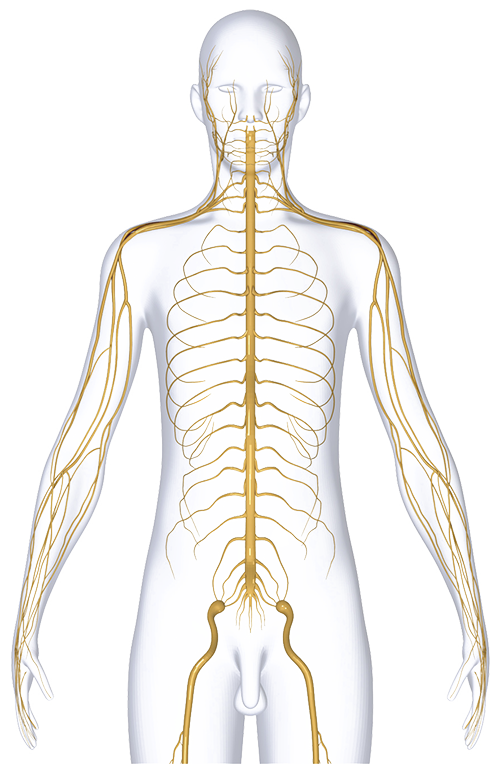 nervous-system-dubai